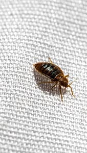 Bed Bugs San Diego
