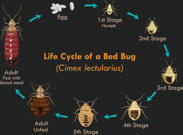 San Diego Bed Bug Lifecycle