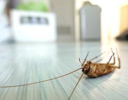 San Diego Cockroach