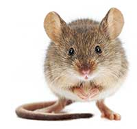 San Diego House Mouse Control