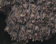 San Diego Bat Colony