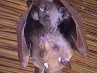 San Diego Bat Mother and Baby