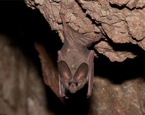 San Diego Bats Facts