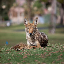 Coyote Removal Services San Diego