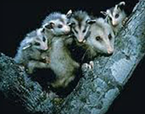 Possum Removal in San Diego