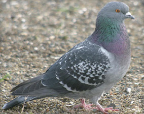 Pigeon Removal San Diego