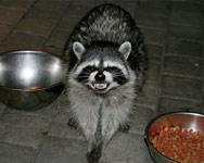 Angry San Diego Raccoons