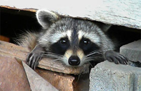 Raccoon Under San Diego House