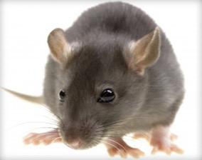Rat Control San Diego
