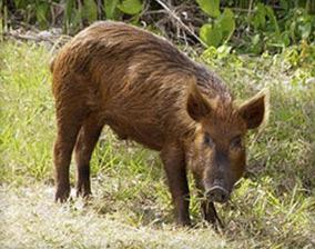 Wild Hog Removal San Diego